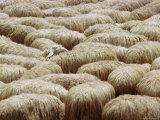 Flock of Sheep, Sardinia, Italy, Mediterranean, Europe Fotografisk tryk af Oliviero Olivieri