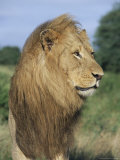 Male Lion, Panthera Leo, Kruger National Park, South Africa, Africa Photographic Print by Ann & Steve Toon