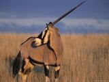 Gemsbok (Oryx), Oryx Gazella, Kgalagadi Transfrontier Park, South Africa, Africa Photographic Print by Ann & Steve Toon