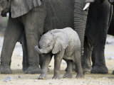 Young African Elephant, Loxodonta Africana, with Adult Group, Etosha National Park, Namibia, Africa Photographic Print by Ann & Steve Toon