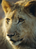 Lion Cub, Lion Park Resort, Gueru, Zimbabwe Photographic Print by Chris Kober