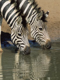 Two Burchell's Zebra, Equus Burchelli, Drinking, Mkhuze Game Reserve, South Africa Photographic Print by Ann & Steve Toon