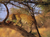 Leopard (Panthera Pardus) in a Tree, Namibia, Africa Photographic Print by David Tipling