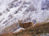 Red Deer Stag in the Highlands in February, Highland Region, Scotland, UK, Europe Photographic Print by David Tipling