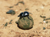 Flightless Dung Beetle Rolling Brood Ball, Addo National Park, South Africa, Africa Photographic Print by Ann & Steve Toon