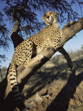 Cheetah, Acinonyx Jubatus, in Captivity, Namibia, Africa Photographic Print by Ann & Steve Toon