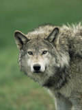 Grey Wolf, Canis Lupus, in Captivity, United Kingdom, Europe Photographic Print by Ann & Steve Toon