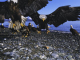 Bald Eagles (Haliaetus Leucocephalus) in February, Alaska, USA Photographic Print by David Tipling