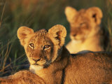 Lion Cubs Approximately 2-3 Months Old, Kruger National Park, South Africa, Africa Photographic Print by Ann & Steve Toon