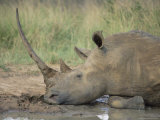 White Rhinoceros (Ceratotherium Simum, Hluhluwe Game Reserve, Kwazulu-Natal, South Africa, Africa Photographic Print by Ann & Steve Toon