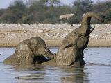 African Elephants, Loxodonta Africana, Bathing, Etosha National Park, Namibia, Africa Photographic Print by Ann & Steve Toon