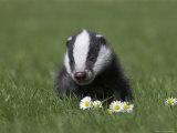 Badger Cub (Meles Meles), Captive, United Kingdom, Europe Photographic Print by Ann & Steve Toon