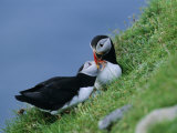 Puffin Pair (Fratercula Artica) Billing, Shetland Islands, Scotland, UK, Europe Reproduction photographique par David Tipling
