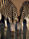 Two Burchell's Zebra (Equus Burchelli) Drinking, Mkhuze Game Reserve, South Africa, Africa Photographic Print by Ann & Steve Toon