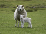 Ewe with Lamb, Scotland, United Kingdom, Europe Photographic Print by Ann & Steve Toon