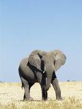Bull African Elephants, Loxodonta Africana, Etosha National Park, Namibia, Africa Photographic Print by Ann & Steve Toon