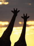 Two Giraffes Silhouetted at Sunset, Etosha National Park, Namibia, Africa Photographic Print by Ann & Steve Toon