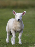 Spring Lamb, Scotland, United Kingdom, Europe Photographic Print by Ann & Steve Toon