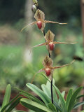 Close-up of a Rare Orchid Flower, Borneo, Asia Photographic Print by James Gritz