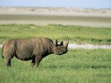 Black Rhinoceros (Rhino), Diceros Bicomis Bicomis, Etosha National Park, Namibia, Africa Photographic Print by Ann & Steve Toon
