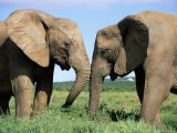Two African Elephants, Loxodonta Africana, Addo, South Africa, Africa Photographic Print by Ann &amp; Steve Toon