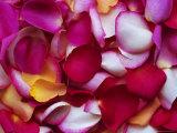 Rose Petals Photographic Print by David Tipling
