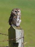 Tawny Owl (Strix Aluco), Captive, Perched, United Kingdom, Europe Photographic Print by Ann & Steve Toon