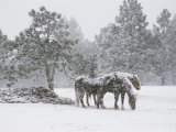 Horses in a Snowstorm, Colorado, United States of America, North America Photographic Print by James Gritz