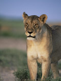 Lioness, Panthera Leo, Etosha National Park, Namibia, Africa Photographic Print by Ann & Steve Toon