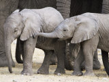 Baby African Elephants, Loxodonta Africana, Etosha National Park, Namibia, Africa Photographic Print by Ann & Steve Toon