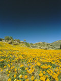 Spring Flowers, Springbok, Namaqualand, Northern Cape Province, South Africa Photographic Print by Chris Kober