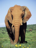 African Elephant, Loxodonta Africana, Covered in Mud, Addo, South Africa, Africa Photographic Print by Ann & Steve Toon