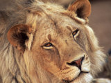 Close-up of a Lion (Panthera Leo), Mashatu Game Reserve, Botswana, Africa Photographic Print by Sergio Pitamitz