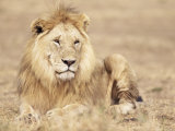 Male Lion Resting in the Grass, Kenya, East Africa, Africa Photographic Print by James Gritz