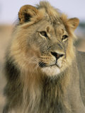 Lion, Panthera Leo, Kalahari Gemsbok National Park, South Africa, Africa Photographic Print by Ann & Steve Toon
