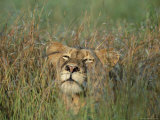 Lioness, Panthera Leo, in the Grass, Kruger National Park, South Africa, Africa Photographic Print by Ann & Steve Toon