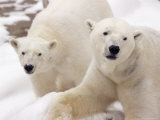 Close-up of Two Polar Bears Photographic Print by James Gritz