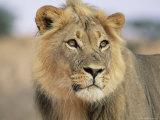 Lion, Panthera Leo, Kalahari Gemsbok National Park, South Africa, Africa Lámina fotográfica por Ann & Steve Toon