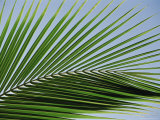 Close-up of Palm Leaf at Ko Samet Island, Rayong, Thailand, Asia Photographic Print by Richard Nebesky