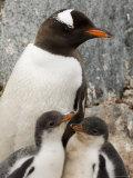 Gentoo Penguins, Petermann Island, Lemaire Channel, Antarctic Peninsula, Antarctica, Polar Regions Photographic Print by Sergio Pitamitz