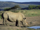 White Rhinoceros (Rhino), Ceratotherium Simum, at Water, Hluhluwe, South Africa, Africa Photographic Print by Ann & Steve Toon
