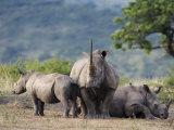 White Rhinoceros (Ceratotherium Simum), Hluhluwe Umfolozi Park, Kwazulu Natal, South Africa, Africa Photographic Print by Ann & Steve Toon