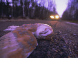 Road Casualty, Dead Barn Owl on Road in Winter, Scotland, UK, Europe Photographic Print by David Tipling