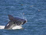 Southern Right Whale, Eubalaena Australis, Hermanus, South Africa Photographic Print by Ann &amp; Steve Toon
