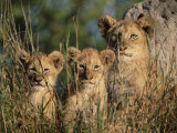 Lion Cubs, Panthera Leo, Kruger National Park, South Africa, Africa Photographic Print by Ann & Steve Toon