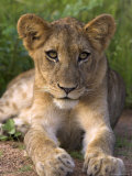 Lion Cub, Panthera Leo, in Kruger National Park Mpumalanga, South Africa Photographic Print by Ann &amp; Steve Toon