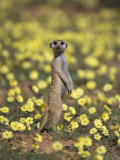 Meerkat (Suricata Suricatta), Kgalagadi Transfrontier Park, South Africa, Africa Photographie par Ann &amp; Steve Toon