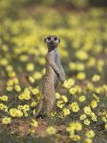 Meerkat (Suricata Suricatta), Kgalagadi Transfrontier Park, South Africa, Africa Fotografie-Druck von Ann & Steve Toon