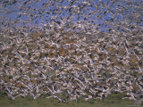 Snow Geese in Winter, Bosque Del Apache, New Mexico, USA Photographic Print by David Tipling