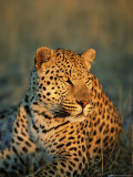 Male Leopard, Panthera Pardus, in Captivity, Namibia, Africa Photographic Print by Ann & Steve Toon